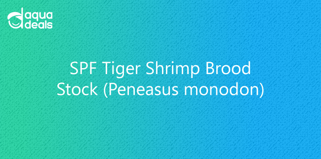 SPF Tiger Shrimp Brood Stock (Peneasus monodon)