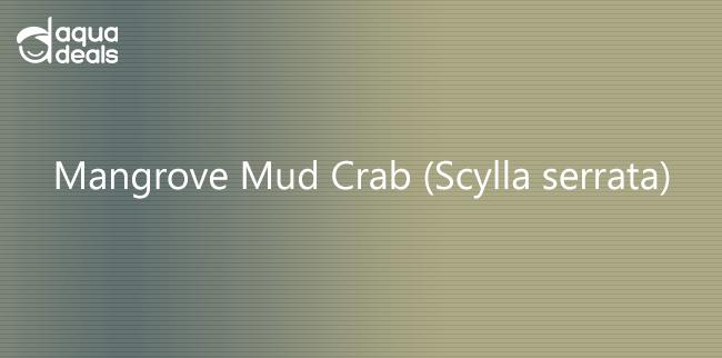 Mangrove Mud Crab (Scylla serrata)