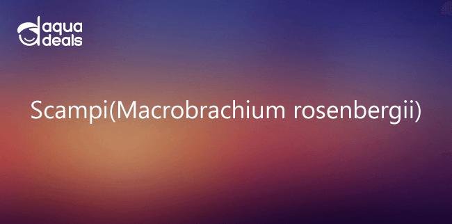Scampi(Macrobrachium rosenbergii)
