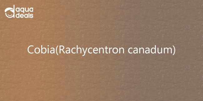 Cobia(Rachycentron canadum)