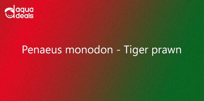 Penaeus monodon - Tiger prawn