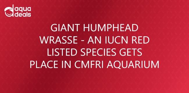 GIANT HUMPHEAD WRASSE - AN IUCN RED LISTED SPECIES GETS PLACE IN CMFRI AQUARIUM